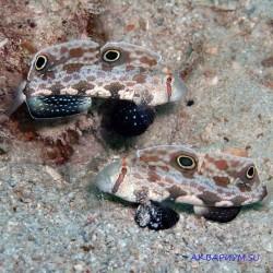 Бычок-сигнигобиус двухпятнистый