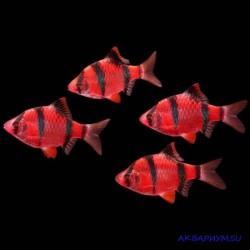 Барбус суматранский красный