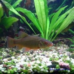 Линь - рыба доктор