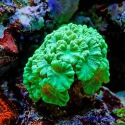 Кауластрея курвата зелёная