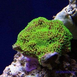 Монтипора инкрустирующая зелёная