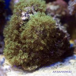 Бриареум (Briareum sp.)