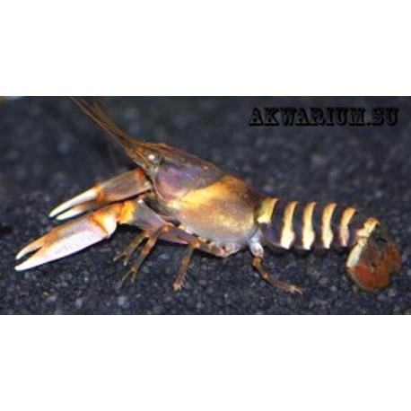 зебровый рак (Cherax papuanus)