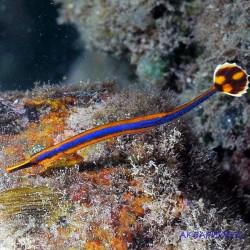 Рыба игла синеполосая