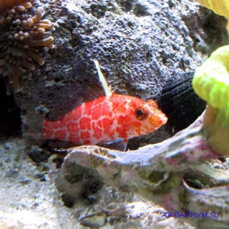 Плектрантиас красный высокоплавничный