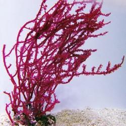 Ботриокладия красный виногрд