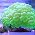 Плерогира пузырчатая зелёная