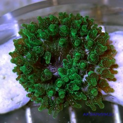 Актиния пузырчатая зелёная