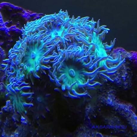 Коралл Дункан