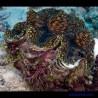 Тридакна сквамоза (чешуйчатая)