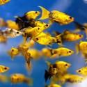 Моллинезия чёрно-жёлтая
