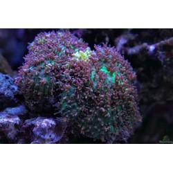 Родактис зеленый