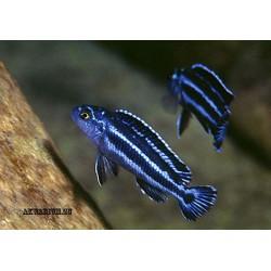 Меланохромис Маингано