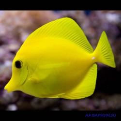 Зебрасома парусная желтая