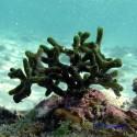 Денежная водоросль