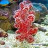 Восьмилучевой коралл Нефтигоргия