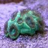 Акантастрея Лорди зелёная