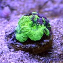Акантастрея Лорди ультра-зеленая