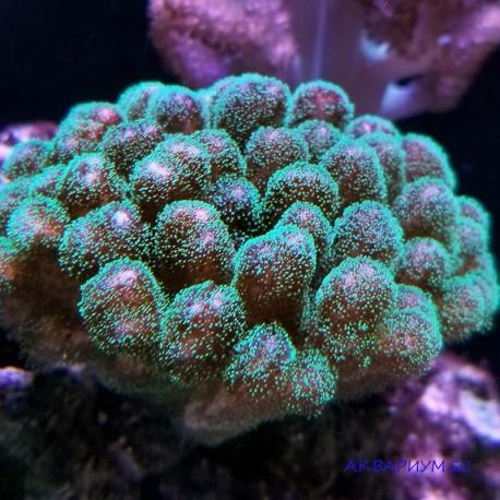 Поцилопора зеленая