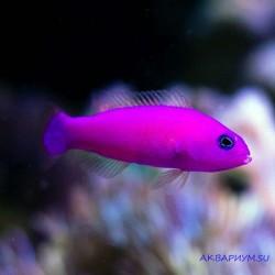 Ложнохромис фиолетовый