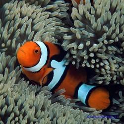 Клоун перкула оранжевый