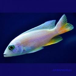Хаплохромис васильковый белый