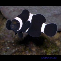 Клоун оцеллярис черный