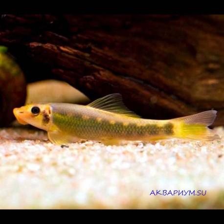 Гиринохейлус чёрно - золотой