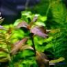 Гигрофила коричневая
