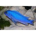 Псевдотрофеус Зебра голубая