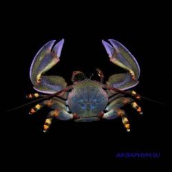 Анемоновый краб фиолетовый