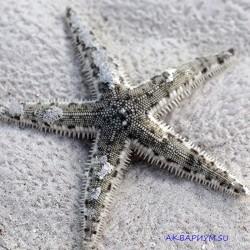 Звезда песчаная