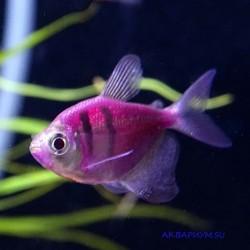 Тернеция флуоресцентная розовая с полосками
