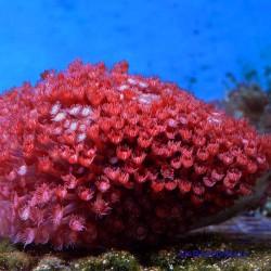 Гониопора красная