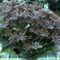 Корнулярия Оранжевая