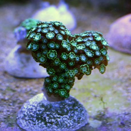 Альвеопора зеленая