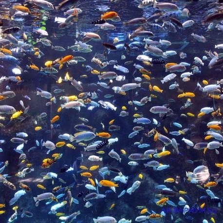 Цихлиды озера Малави микс