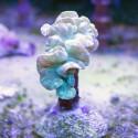 Лисий коралл