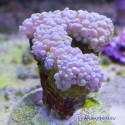 Коралл жемчужный