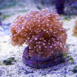 Эуфиллия лягушачья икра Orange