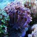 Гониопора фиолетовая