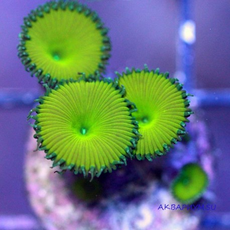 Зоантус Nuclear green