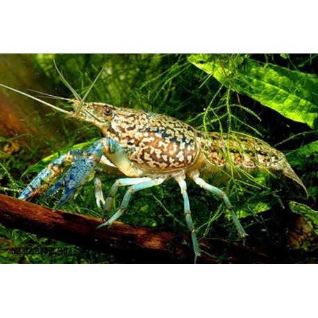 мраморный рак (Grey Speckled crayfish)