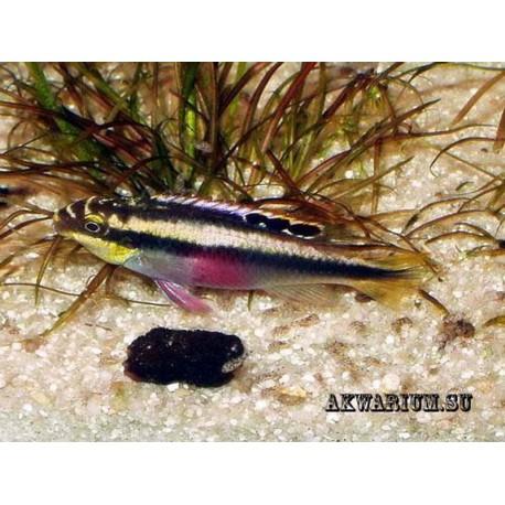 Цихлида-попугай (Pelvicachromis pulcher)