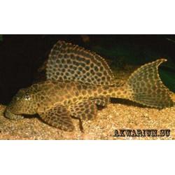 Птеригоплихт ( Pterygoplichthys gibbiceps )