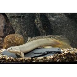 Полиптерус сенегальский