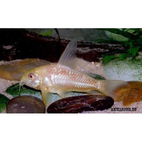 Коридорас альбинос