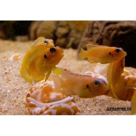 Лампрологус оцеллатус «голд»