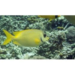 Лисица коралловая