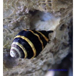Улитка-пчела